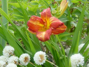 Hemerocallis Little Red Hen Power point