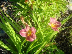 Hemerocallis Stafford
