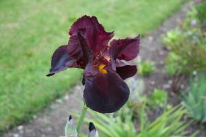 Iris caliente 1