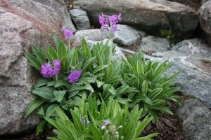 Primula longipes