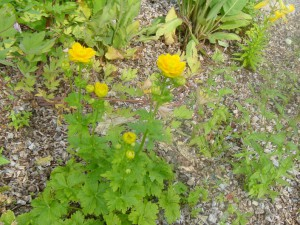 Trollius hondoensis power point